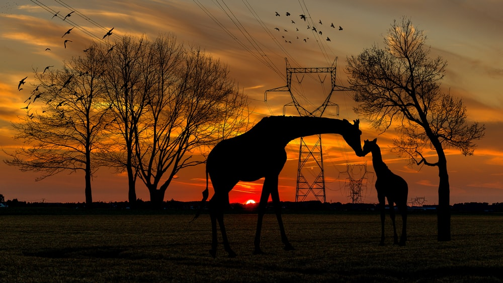 silhouette of two giraffes on ground under orange skies