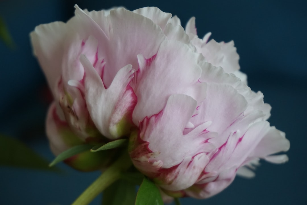 Single light pink peony.