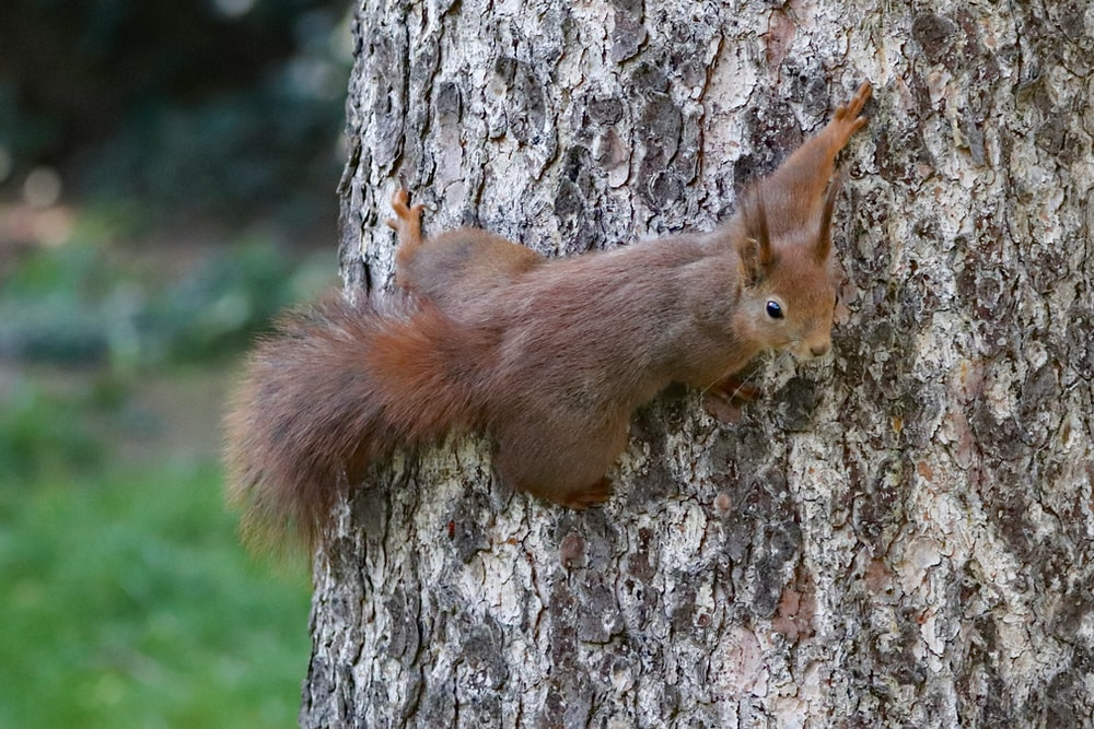 squirrel hanging on tree trunk
