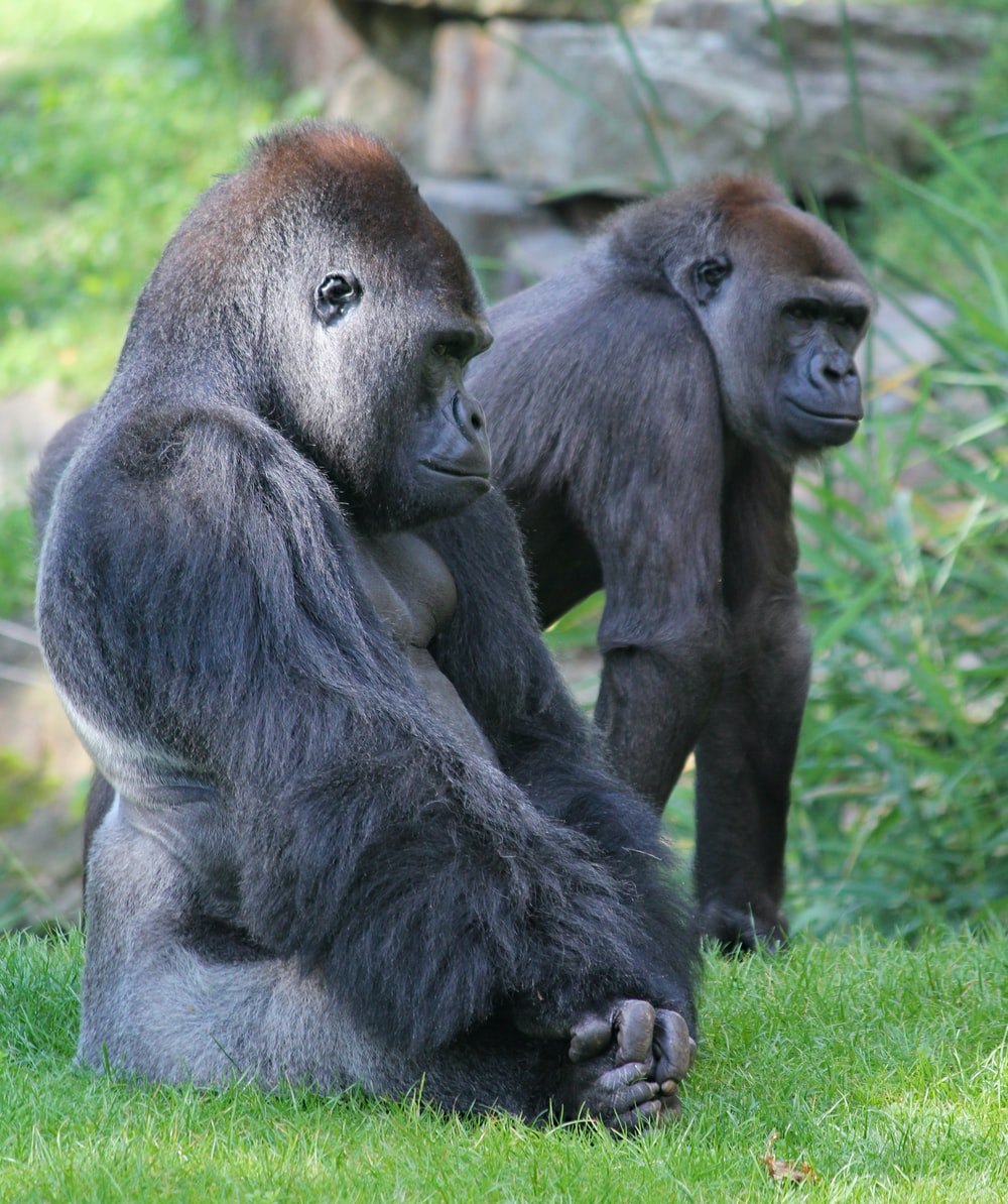 two brown gorillas on grass field