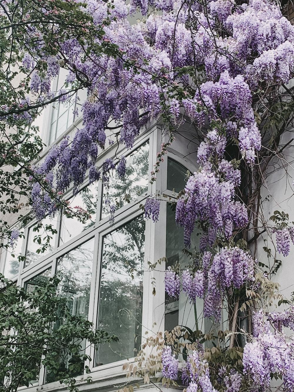 lilac shrubs near glass window