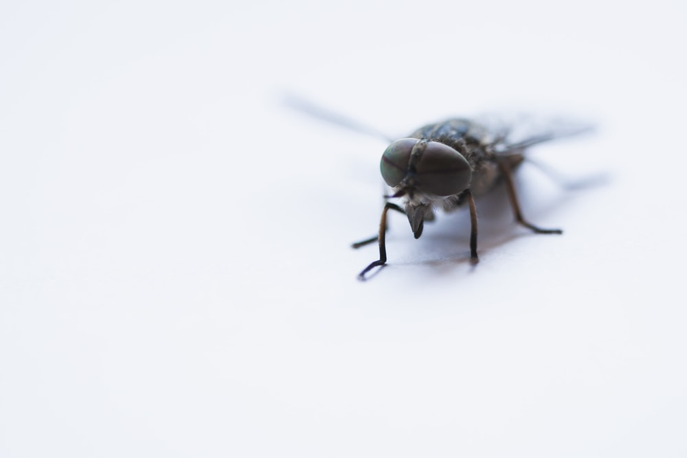black horse-fly close-up photography