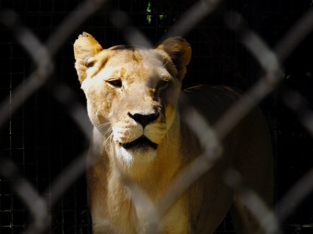 female adult lion in cage