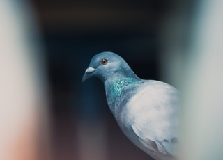 shallow focus photography of gray pigeon