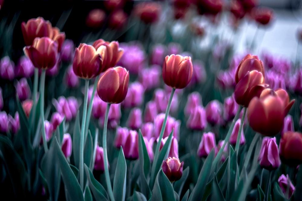 pink tulip flower lot photo