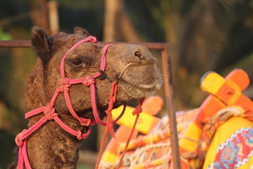 camel near orange and yellow saddle