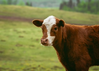 selective-focus photography of calf
