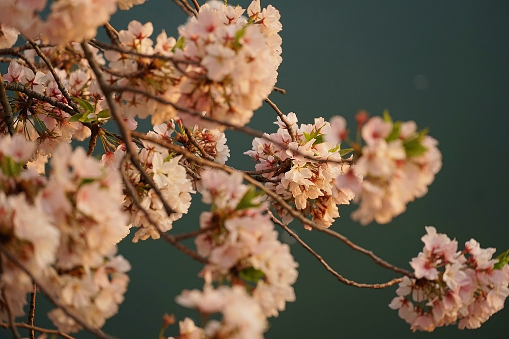 pink-leafed tree branch