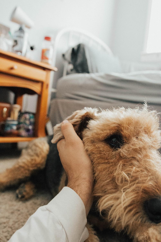 medium-coated tan dog