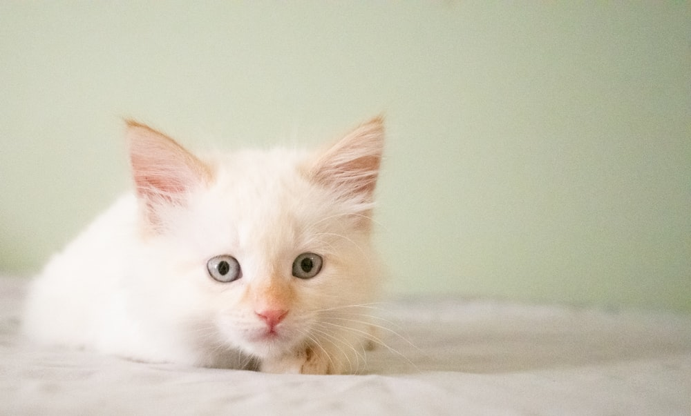white cat on white pad