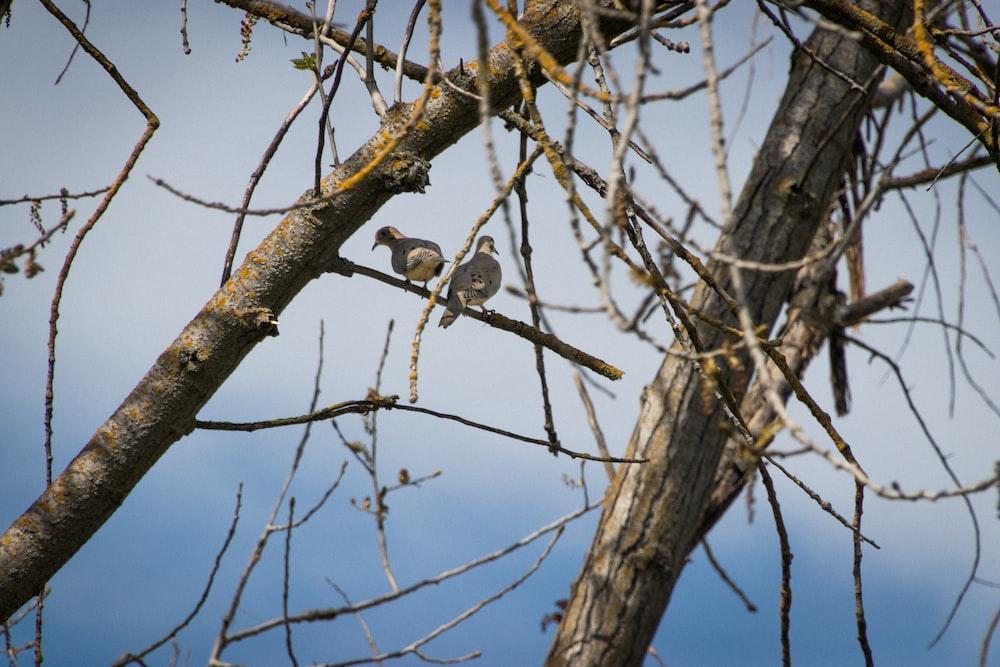 two gray birds on tree branch