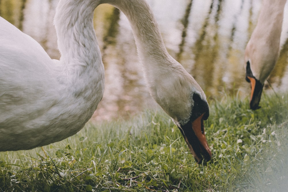 selective focus photography of two white swans