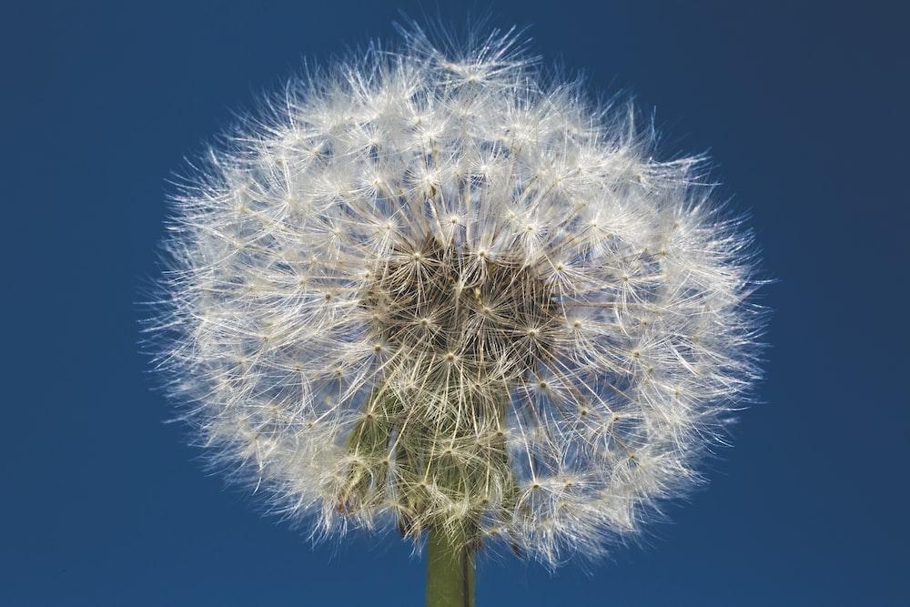 white dandelion flower during daytime