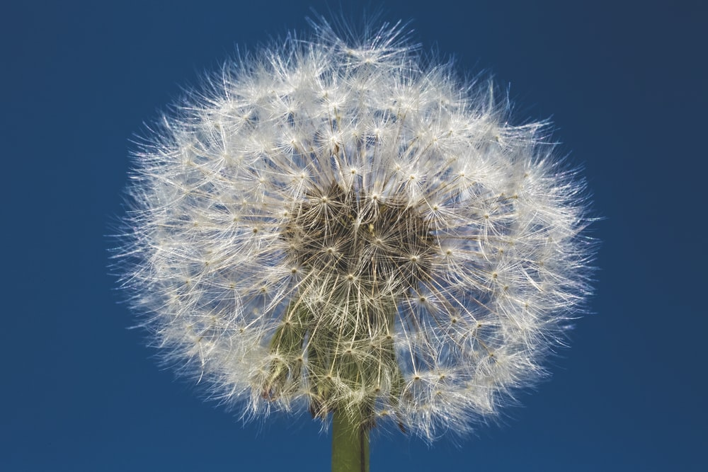 white dandelion flower during daytime