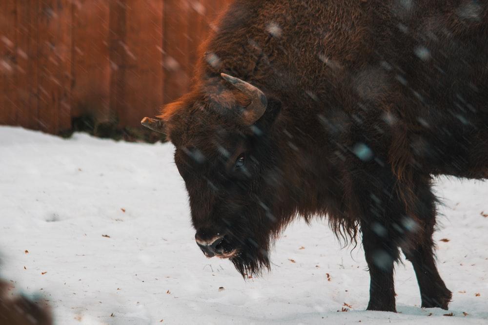 buffalo standing during winter season