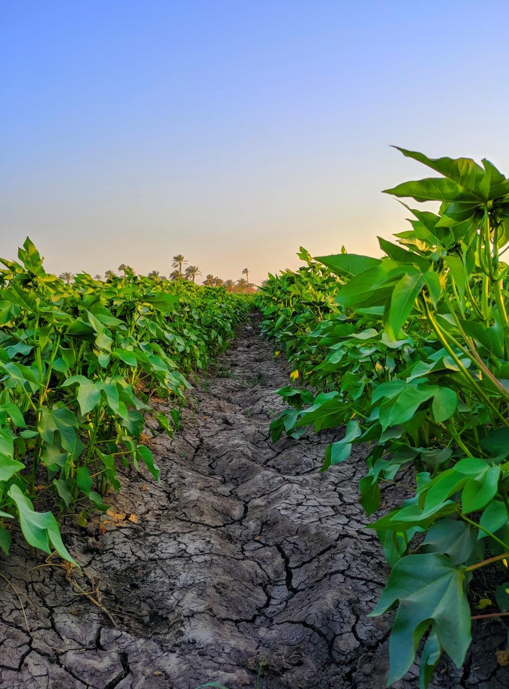 dried soil between plants