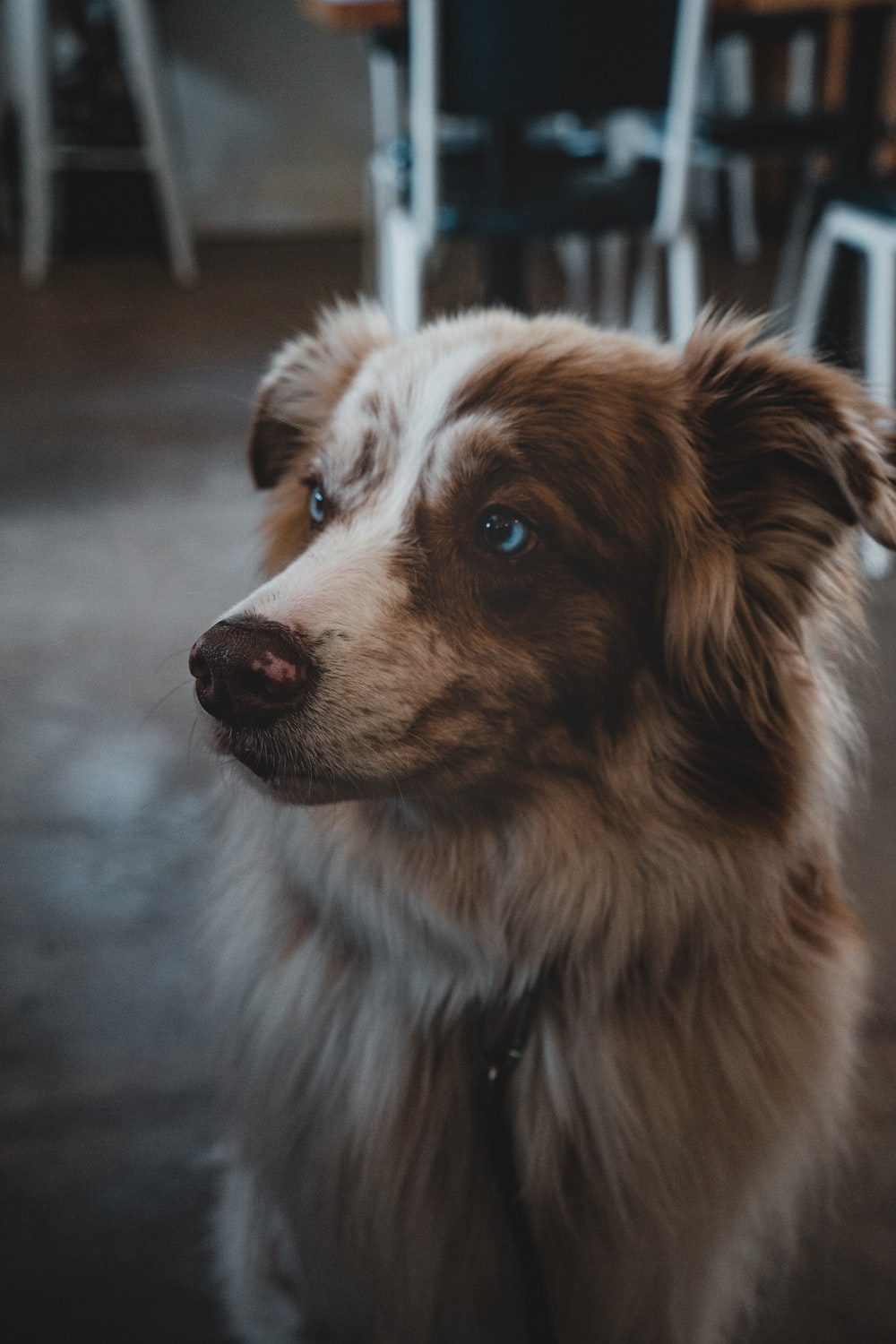 long coatedwhite and brown dog