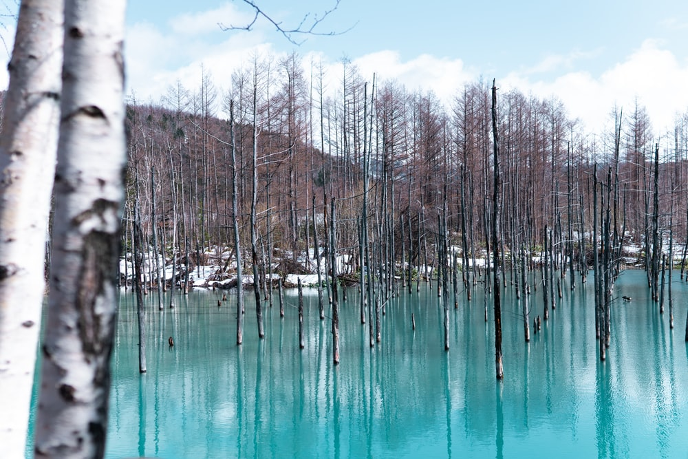 landscape photo of brown withered trees on body of water