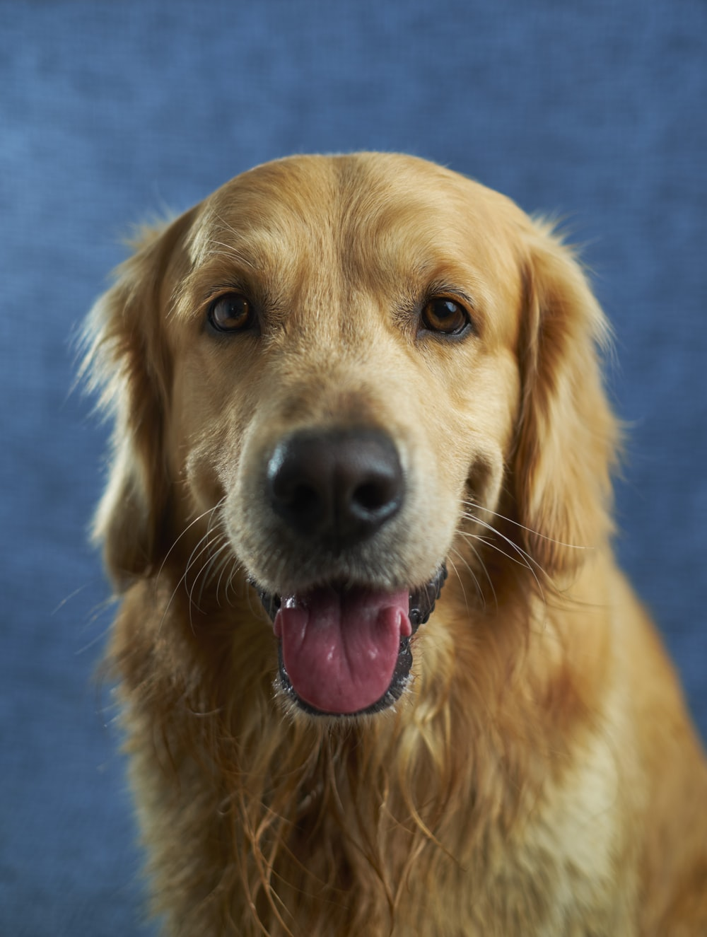 500 Golden Retriever Pictures Hd Download Free Images On Unsplash