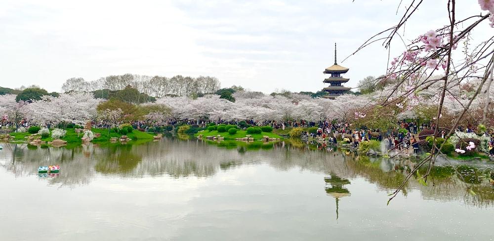 cherry blossom near lake