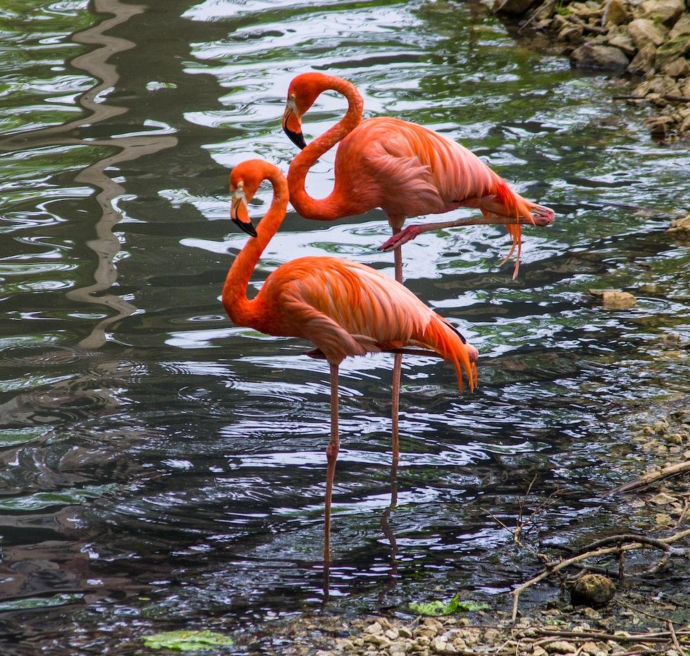 two orange flamingos