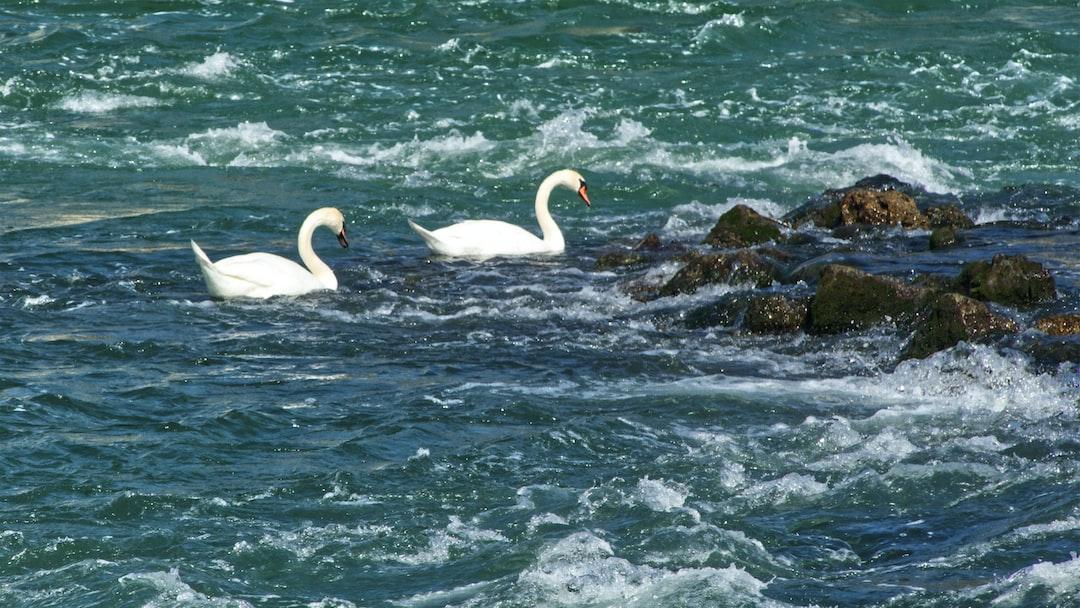 Cygnes proche du déversoir du barrage de Noisiel