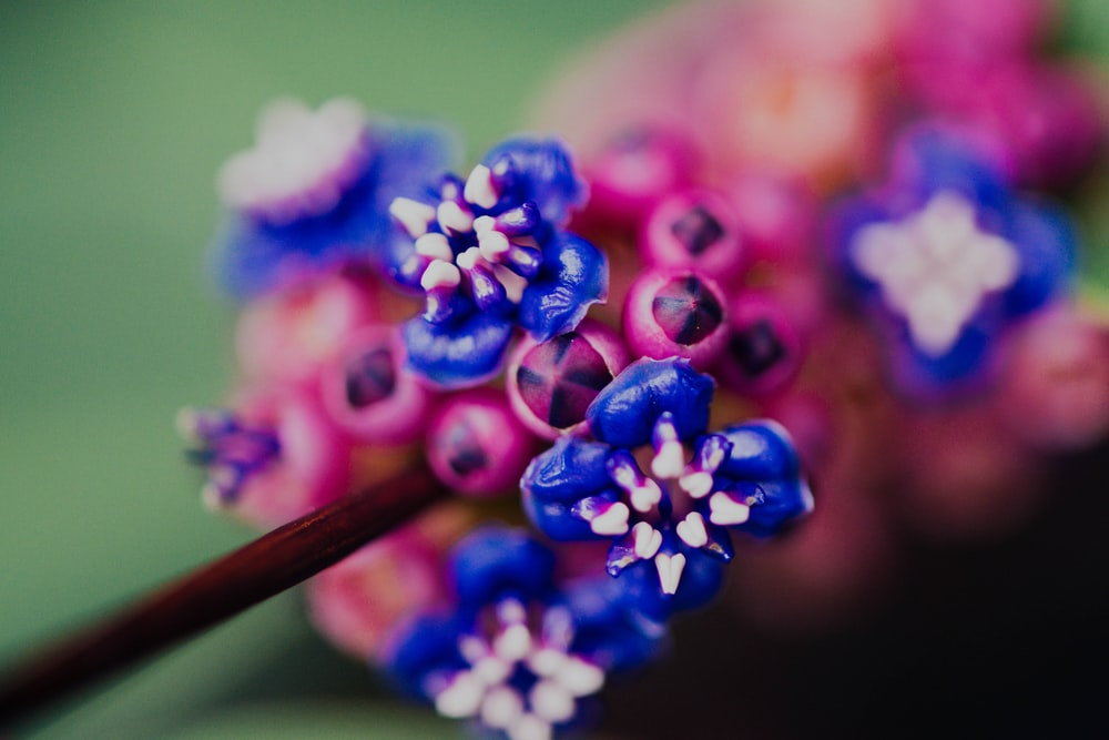 blue and pink flower buds