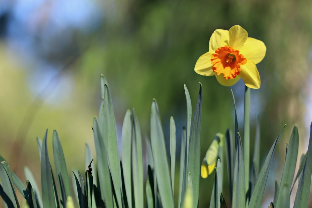 yellow daffodils with plant