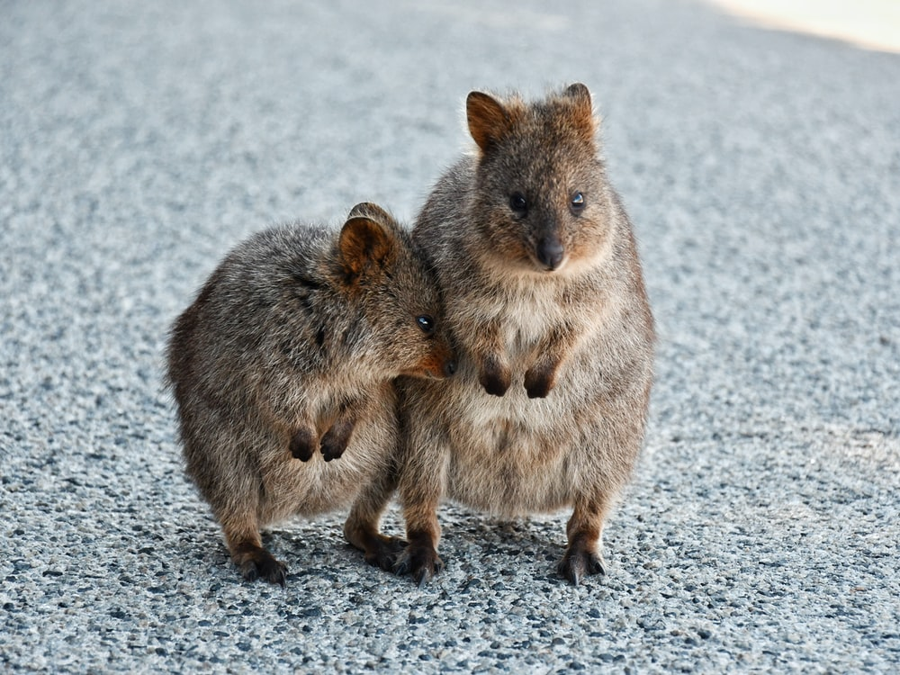 two brown rodent