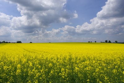 Field of rape in full flower in the month of May