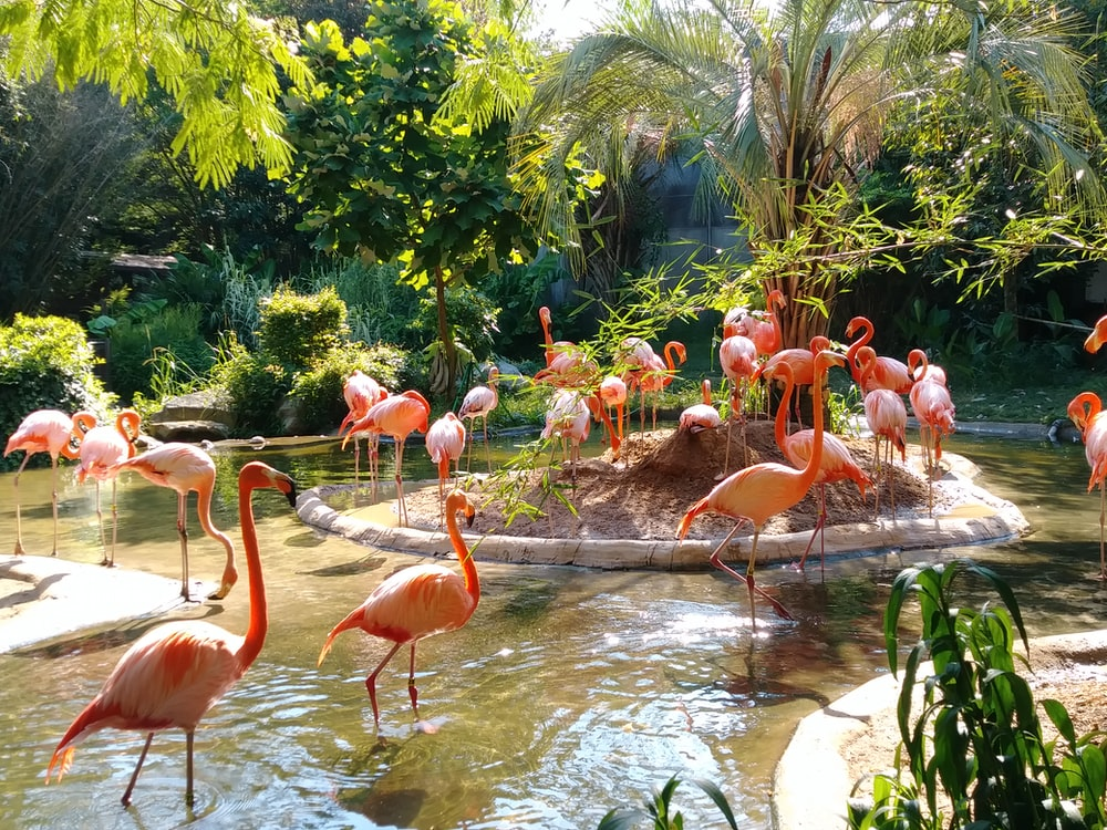 pink flamingos on pond surrounded with green plants