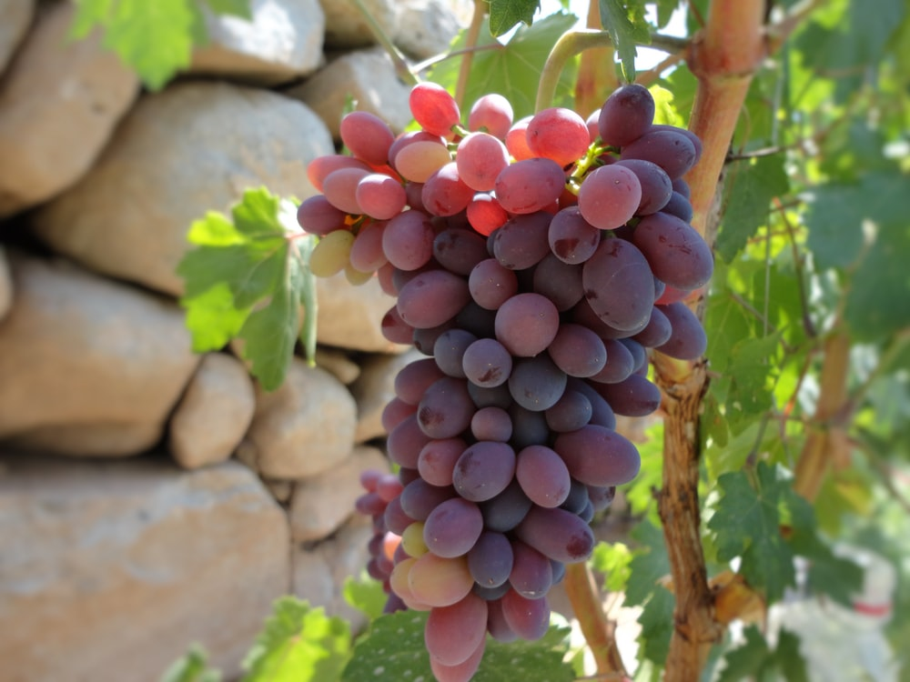 red grapes in selective focus photography
