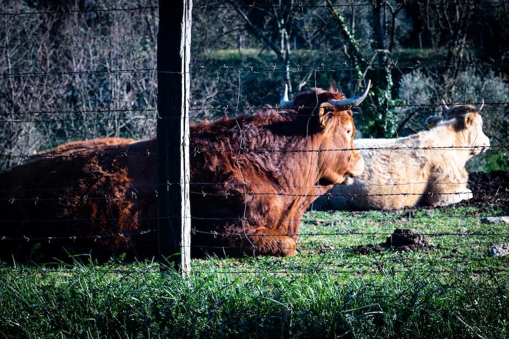 buffalo lying on grass