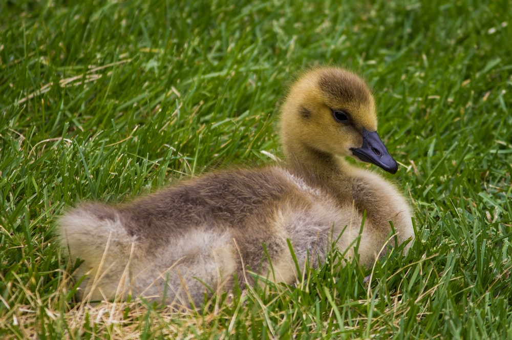 brown and black duck surrounded by green grass