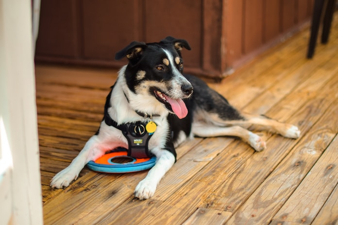 adult tricolored dog lying on brown wood parquet