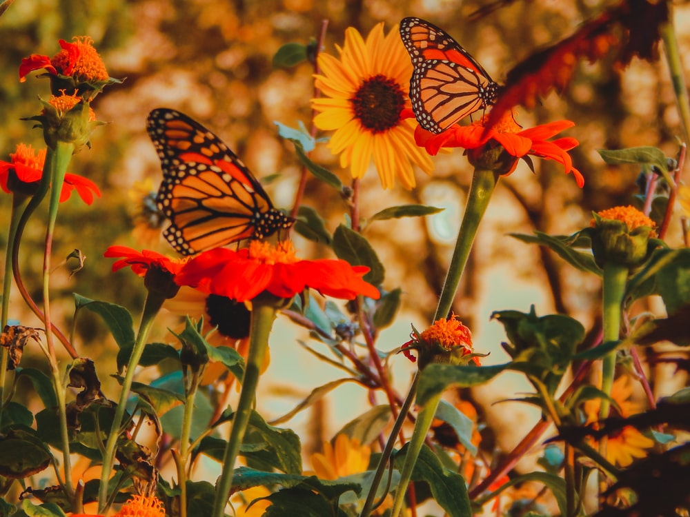 monarch butterfly perched on flowers