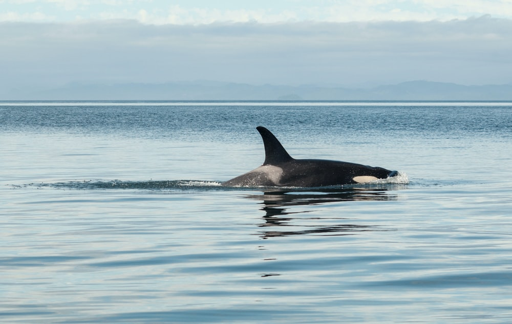 black killer whale on top of water