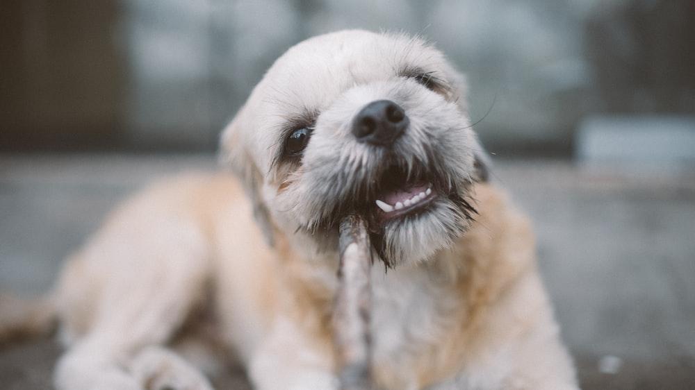 white and beige dog