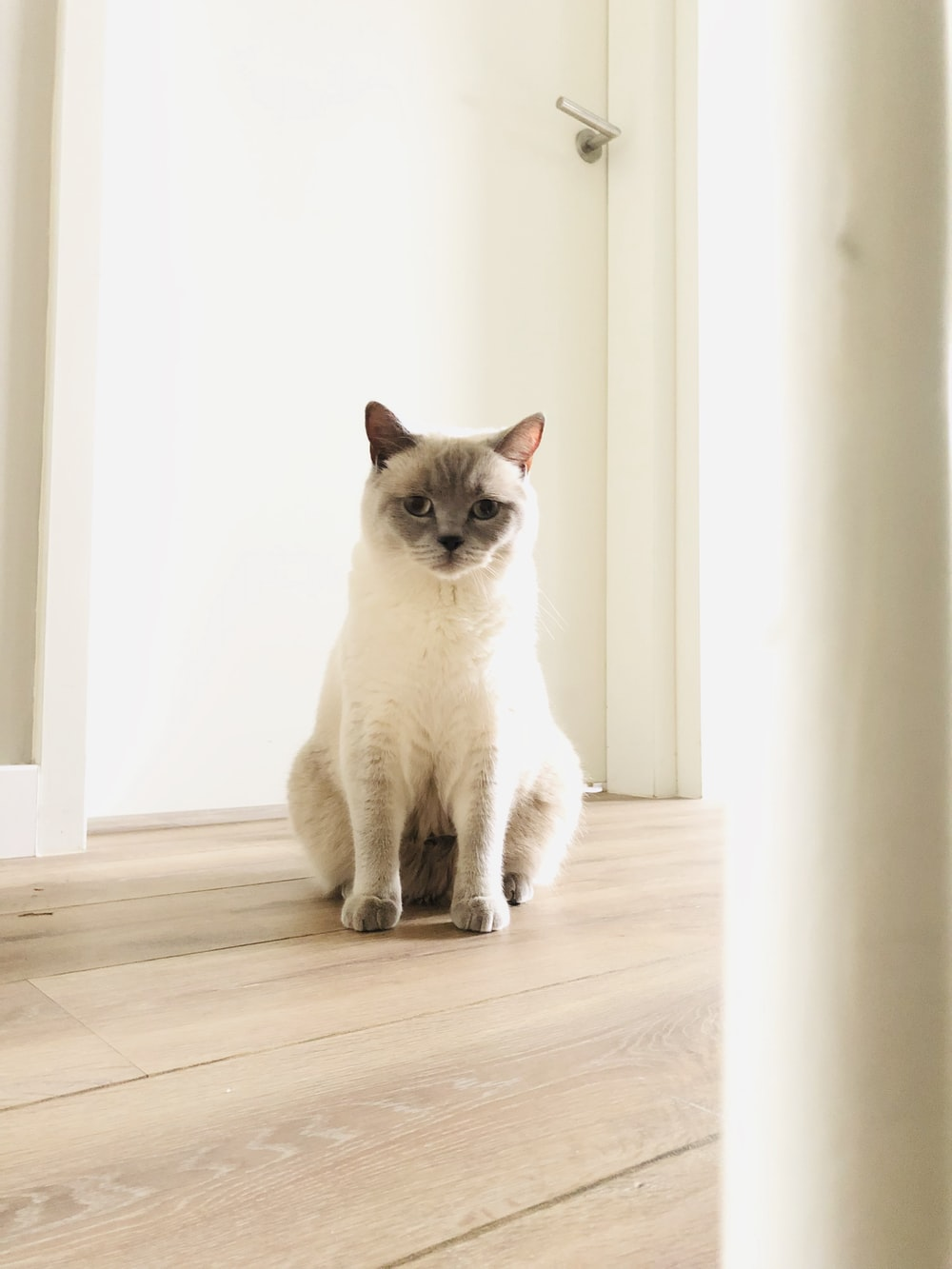 white and grey cat on