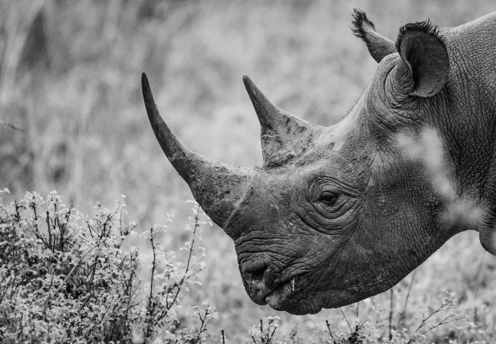 adult rhino at the field during day