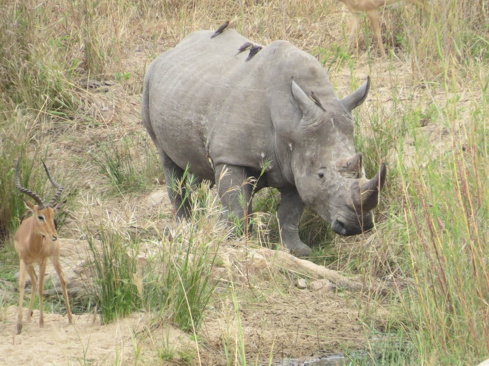 black rhinoceros on green grass field