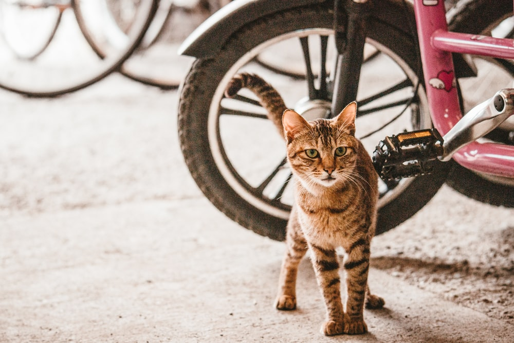 brown tabby cat near red bicycle