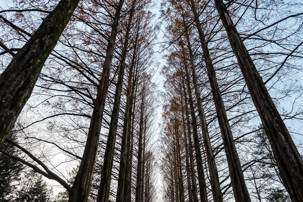 tall bare trees under blue skies