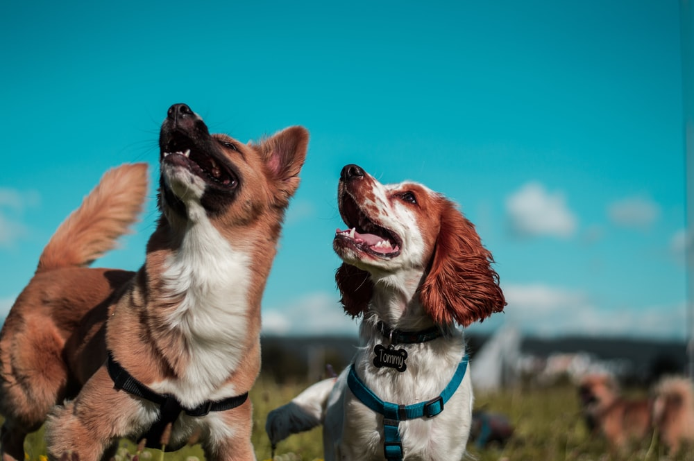two white and brown dogs