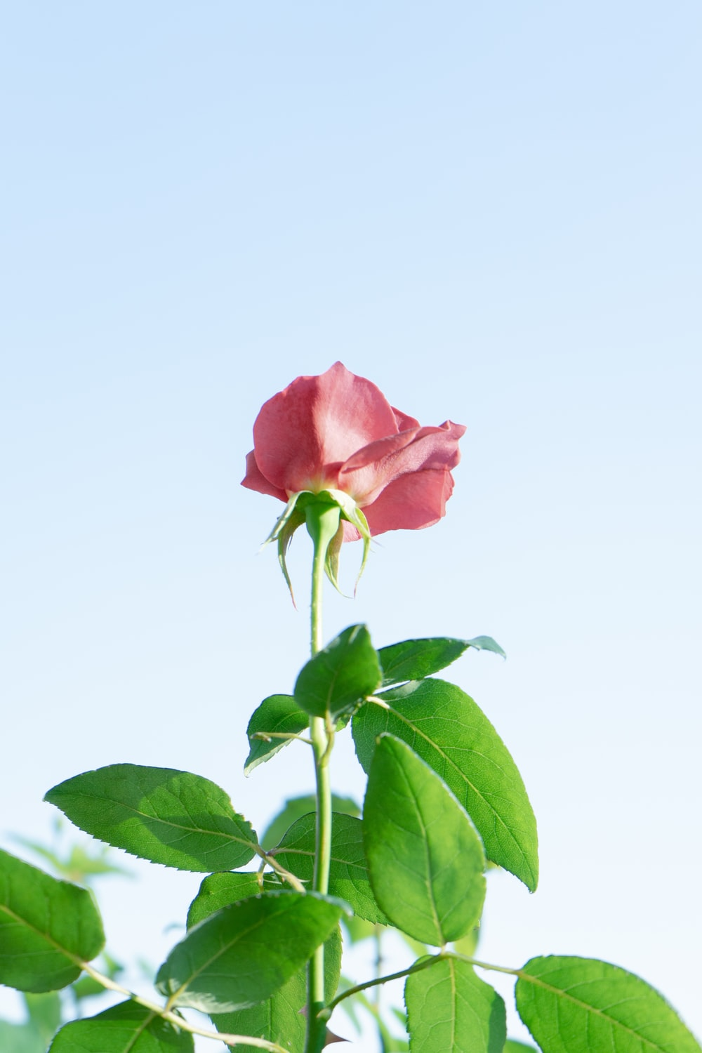 pink rose under clear sky