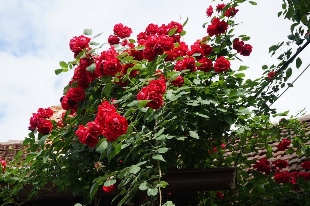 Garden Red roses Bush.