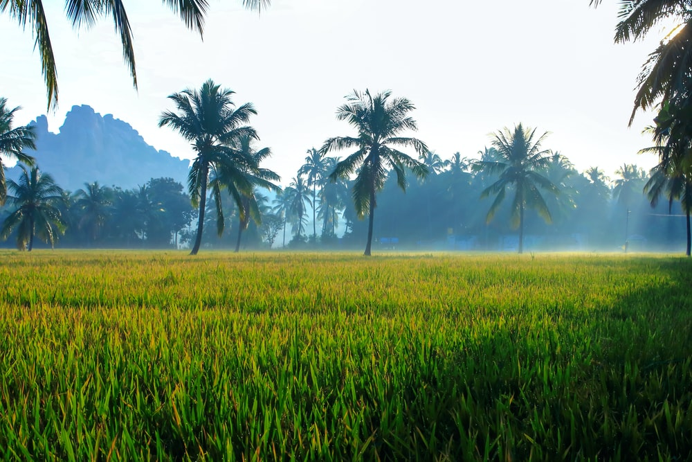 landscape photography of green grass field and green coconut palm trees