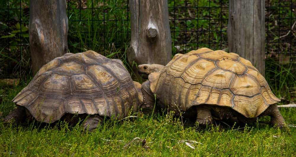 two tortoises on grass field