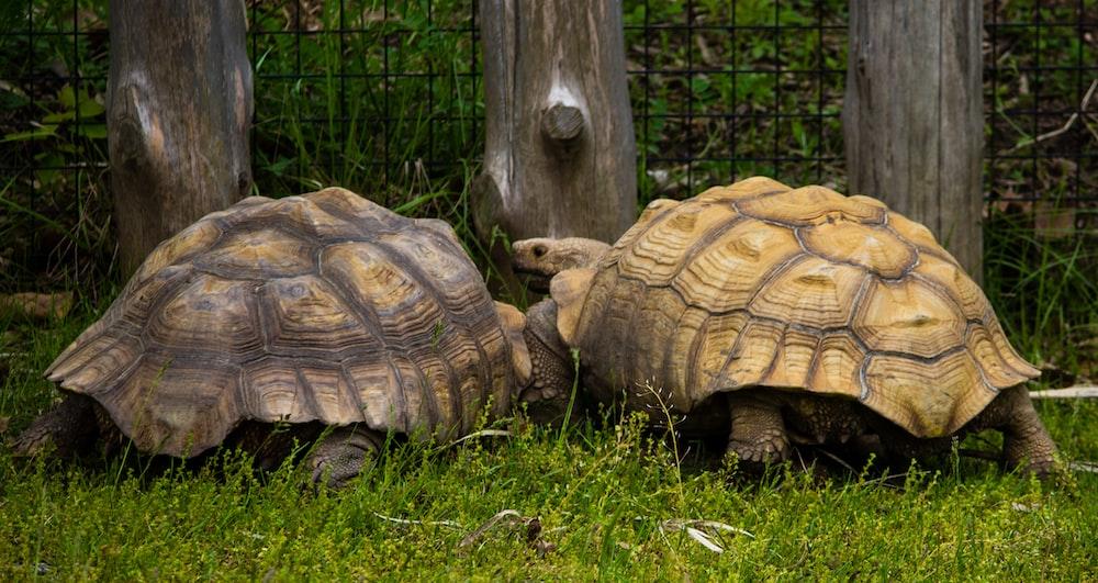 two tortoises on grass field