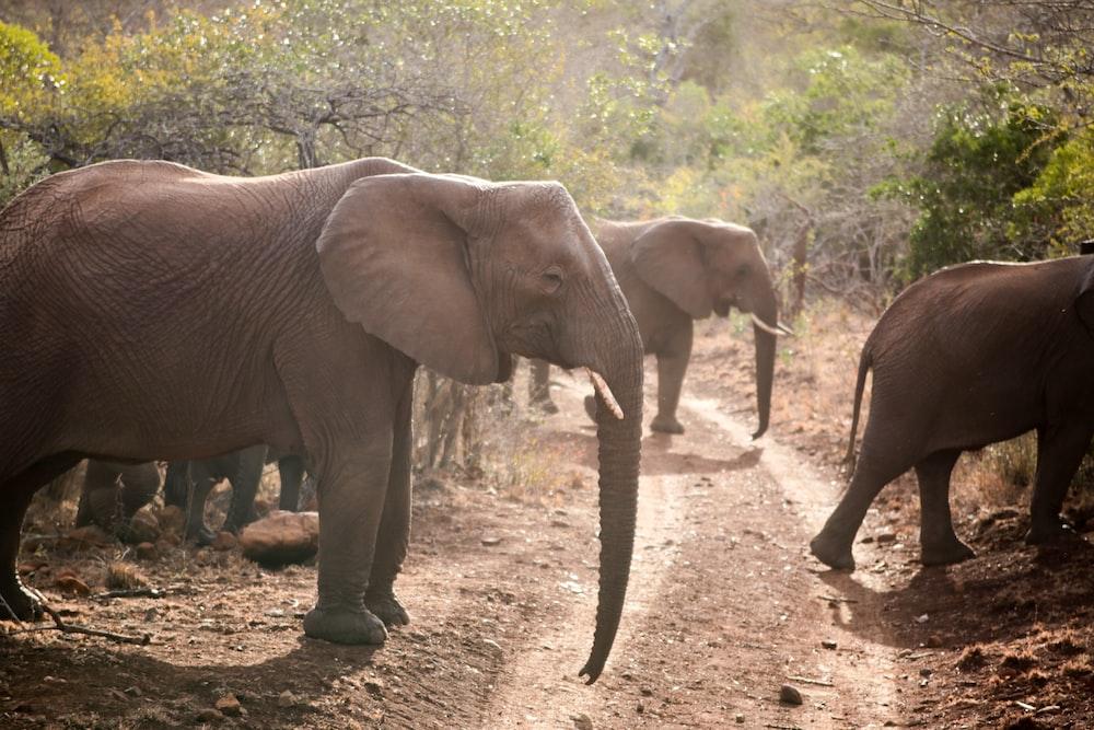 brown elephants on green field